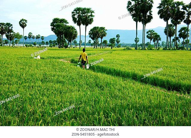 Farmer walking on green rice field