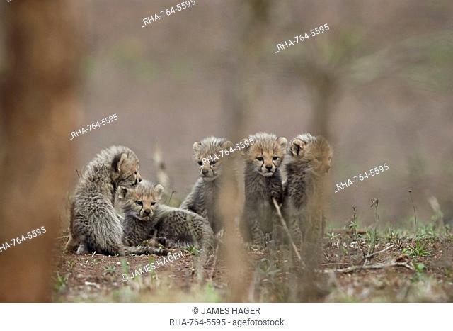 Five cheetah (Acinonyx jubatus) cubs, Kruger National Park, South Africa, Africa