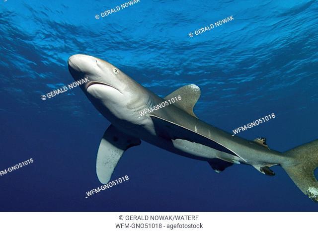 Oceanic Whitetip Shark, Carcharhinus longimanus, Daedalus Reef, Red Sea, Egypt