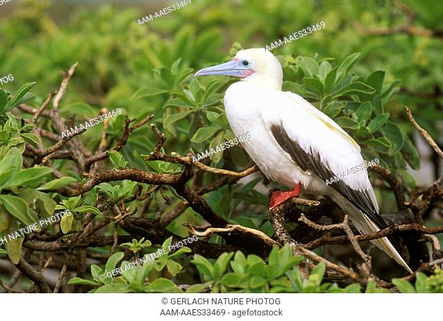 Red-footed Booby (Sula sula) E. Isl., Midway Atoll NWR