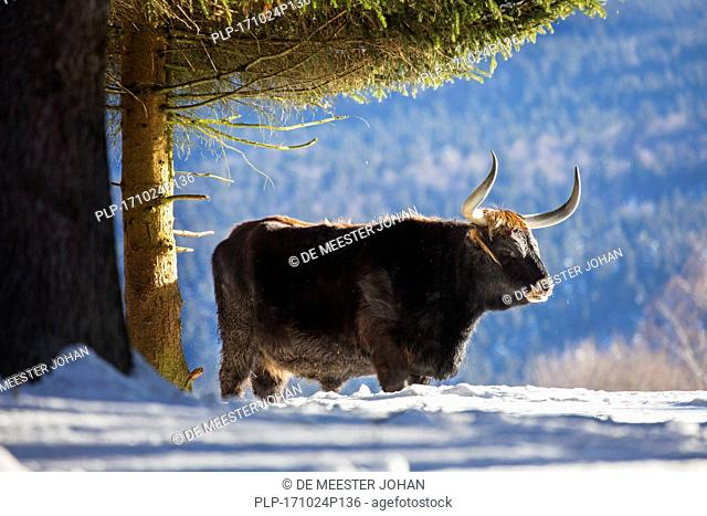 Heck cattle (Bos domesticus) bull under tree in the snow in winter