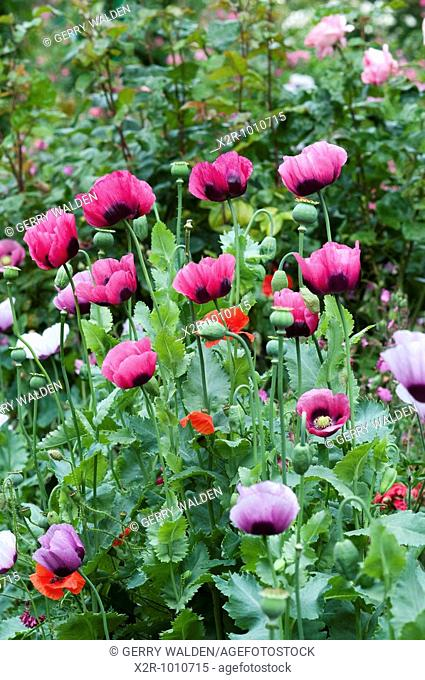 Border of poppies and other plants in Monets Garden in Giverny in Normandy, France