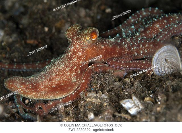 Starry Night Octopus (Callistoctopus luteus, Octopodidae family), TK1 dive site, Lembeh Straits, Sulawesi, Indonesia