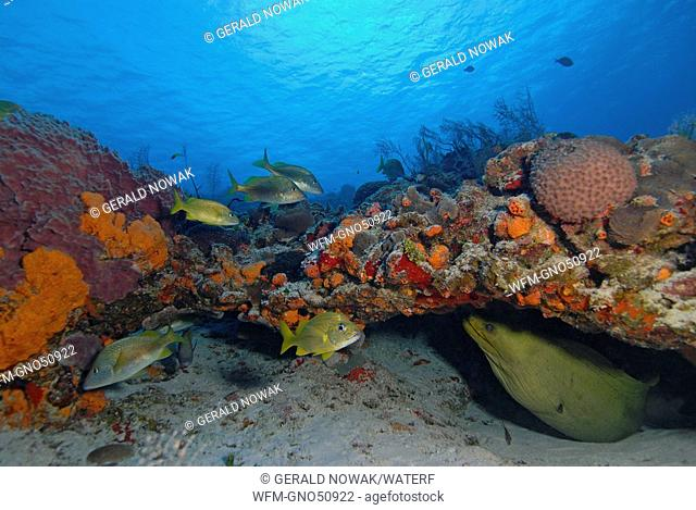 Reef with Green Moray and French Grunts, Gymnothorax funebris, Haemulon flavolineatum, Cozumel, Caribbean Sea, Mexico