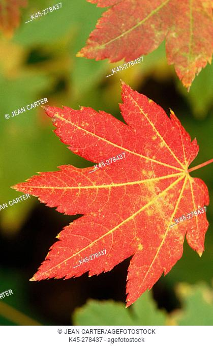 Vine maple (Acer circinatum) leaves in fall. Lake Chelan National Recreation Area. Northern Washington. USA