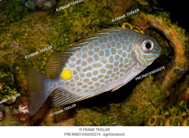 Orange-spotted spinefoot, Siganus guttatus / Goldfleck-Kaninchenfisch, Siganus guttatus
