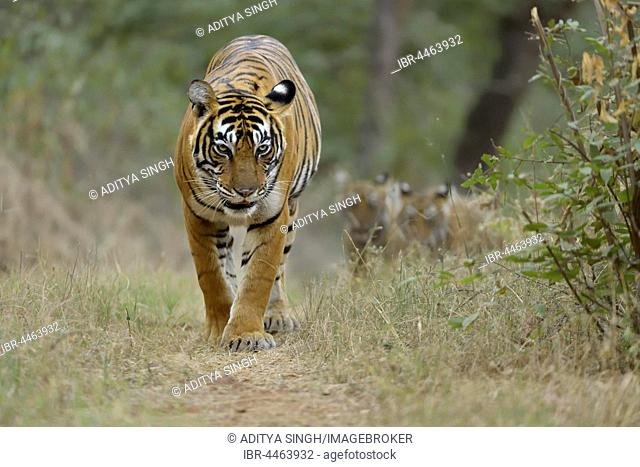 Bengal Tigers (Panthera tigris tigris), mother with cubs walking on forest path , Ranthambhore National Park, Rajasthan, India