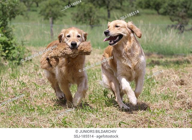 Golden Retriever. Two bitches (5 years old) running on a meadow