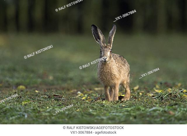 Brown Hare / European Hare ( Lepus europaeus ) sitting on mown gras, watching attentively, wildlife, Europe