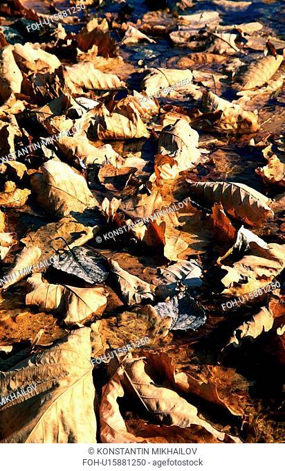 East Siberia, Eatern Siberia, Siberia, autumn, fall, flora, leaf