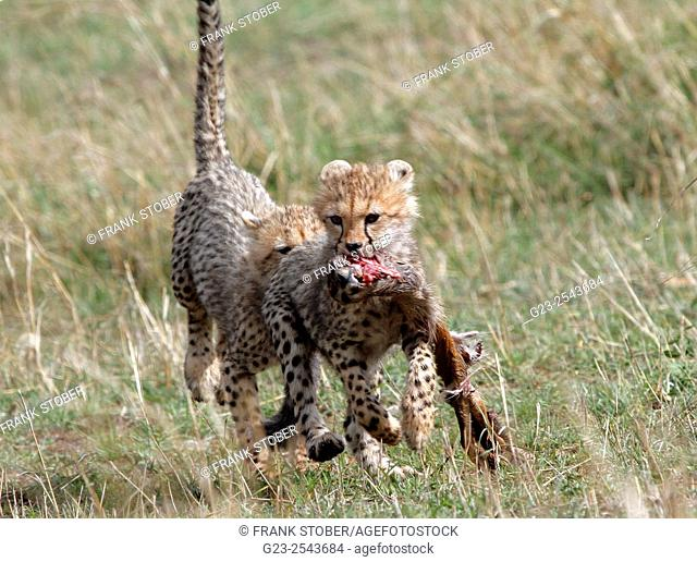 Cheetah cub with prey. Maasai Mara National Reserve, Kenya