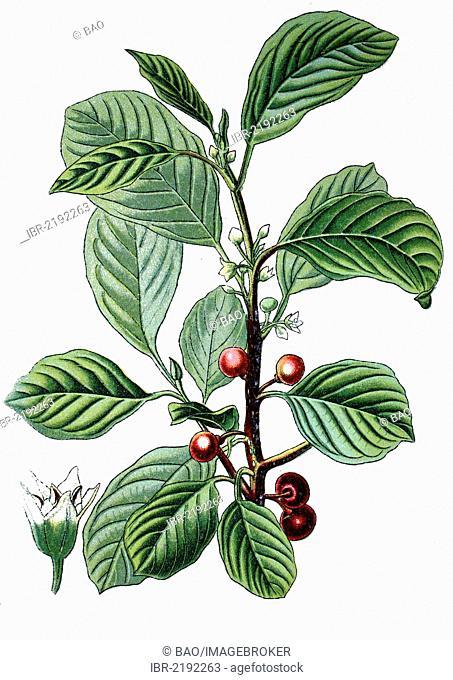 Alder Buckthorn (Rhamnus frangula), crop, useful plant, medicinal plant, historical chromolithography, about 1870