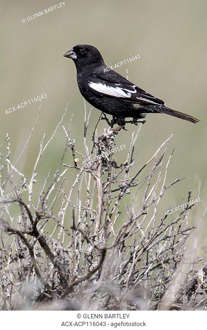 Lark Bunting (Calamospiza melanocorys) perched on a branch in Alberta, Canada