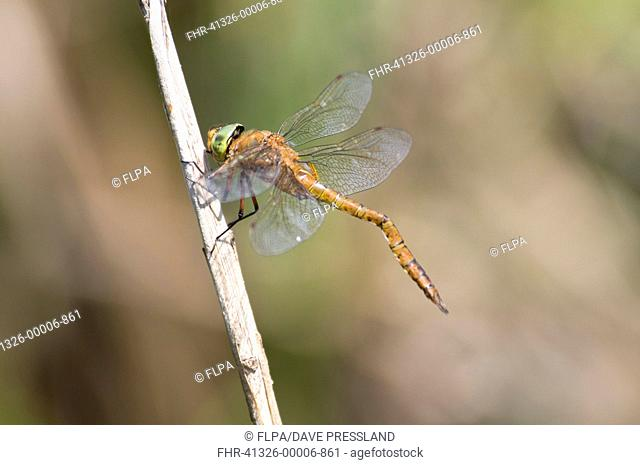 Norfolk Hawker Aeshna isosceles adult male, with deformed abdomen caused by meeting obstruction before it hardened during emergence from larval skin