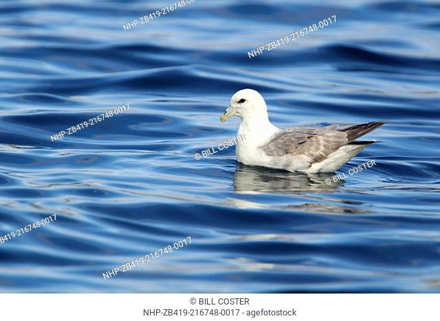 Fulmar - on sea Fulmarus glacialis Shetland, UK BI023560