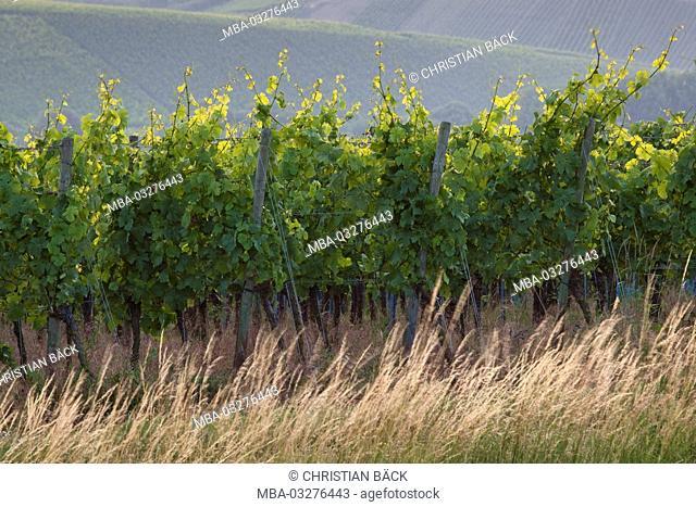 Vines in the Volkacher Main loop, Volkach, Lower Franconia, Franconia, Bavaria, South Germany, Germany