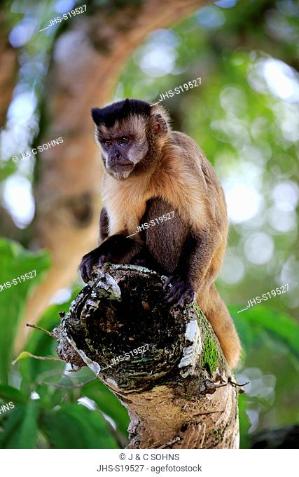 Brown Capuchin, Tufted Capuchin, Black-capped Capuchin, (Cebus apella), adult on tree, Pantanal, Mato Grosso, Brazil, South America