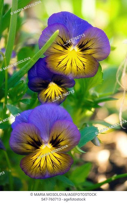 Blue Pansy Flower Family. Viola x wittrockiana. April 2008, Maryland, USA