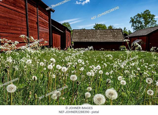 Dandelions on meadow