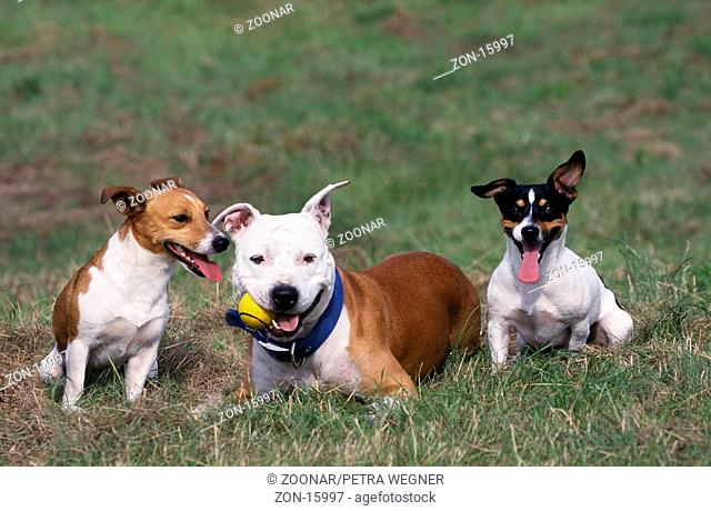 Jack-Russell-Terrier and American Staffordshire-Terrier