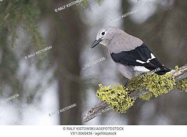 Clark's Nutcracker ( Nucifraga columbiana ) in winter, in natural surrounding, nice backside view, Yellowstone National Park, Wyoming, USA
