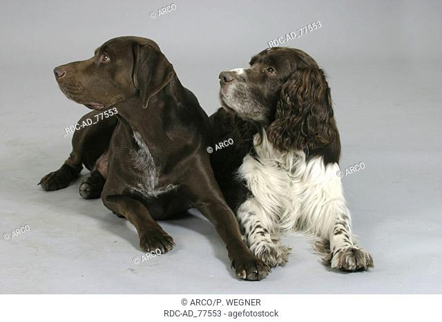 German Shorthaired Pointer and English Springer Spaniel