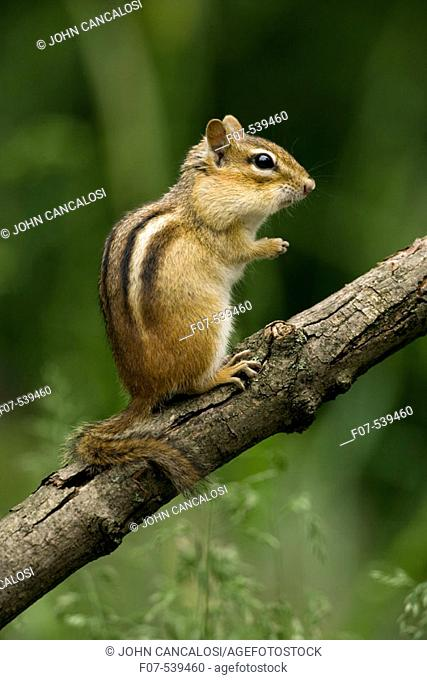 Eastern Chipmunk (Tamius striatus) - New York - Found across most of Eastern U.S. and  Southeastern Canada - Inhabits deciduous forests and brushy areas - Feeds...