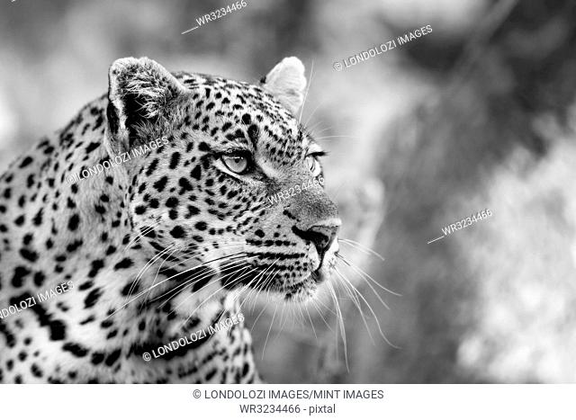 A leopard's head, Panthera pardus, looking away, black and white