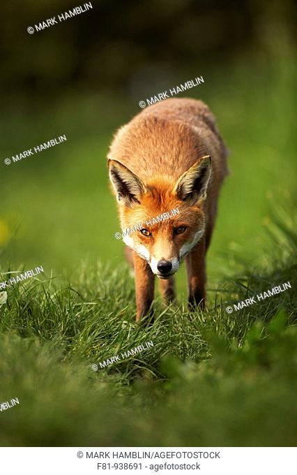 Fox Vulpes vulpes portrait of adult taken in controlled conditions  UK  May