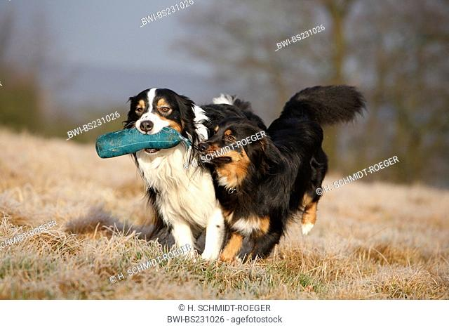 Australian Shepherd (Canis lupus f. familiaris), two individuals, one retrieving, Germany