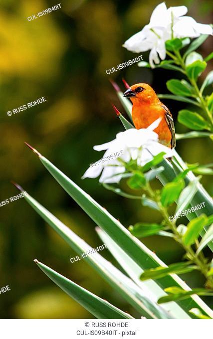 Red Fody (Foudia Madagascariensis), Mauritius