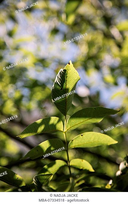 The foliage of the walnut tree in the autumn sun