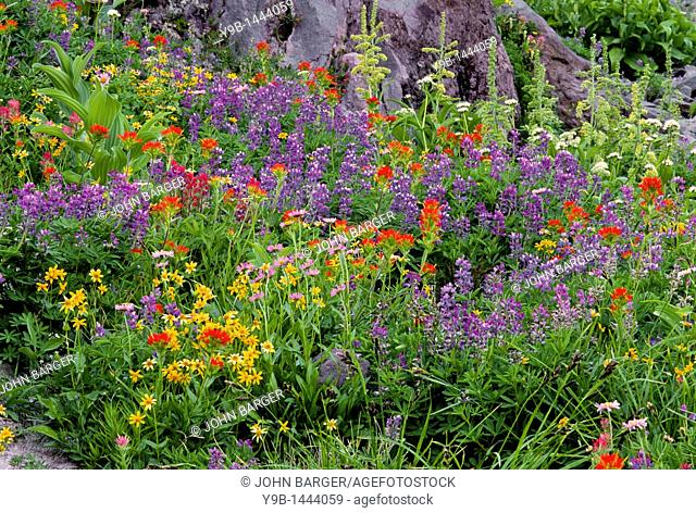Summer wildflowers including lupine and paintbrush form dense bloom, Mt  Hood Wilderness, Mt  Hood National Forest, Cascade Mountains, Oregon, USA