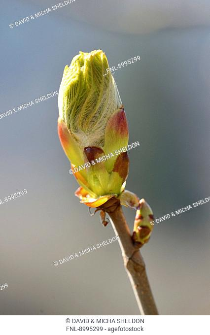 Close-up of a horse-chestnut bud