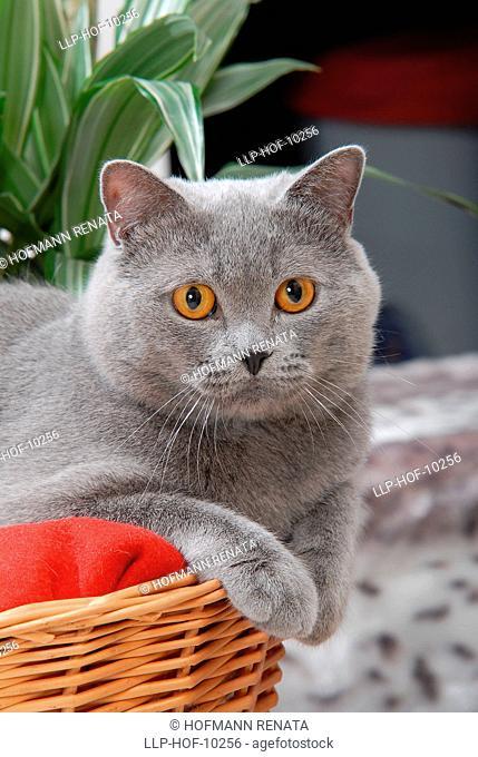 British cat, cat