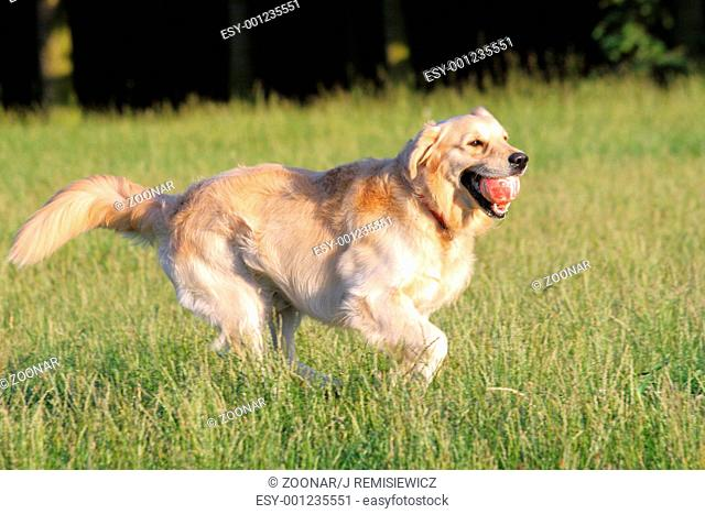 Happy golden retriever running with a ball in its mouth