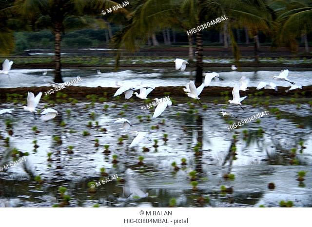 EGRETS FLYING FROM PADDY FIELD PALAKKAD