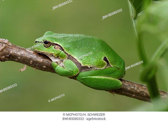 European treefrog, common treefrog, Central European treefrog (Hyla arborea), sitting on twig, Bulgaria