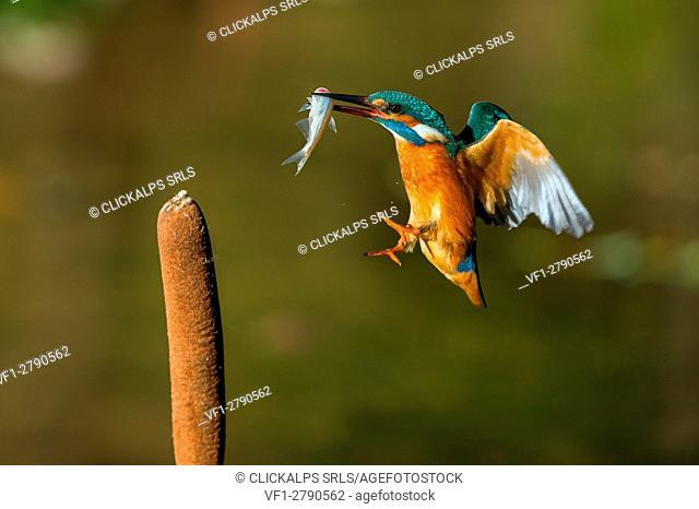 Kingfisher, Trentino Alto-Adige, Italy