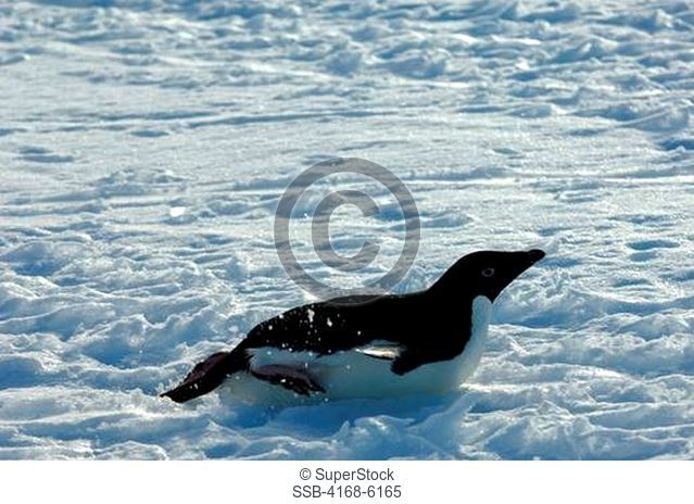 ANTARCTICA, ANTARCTIC PENINSULA, PETERMANN ISLAND, ADELIE PENGUIN Pygoscelis adeliae TOBAGGANING OVER SNOW