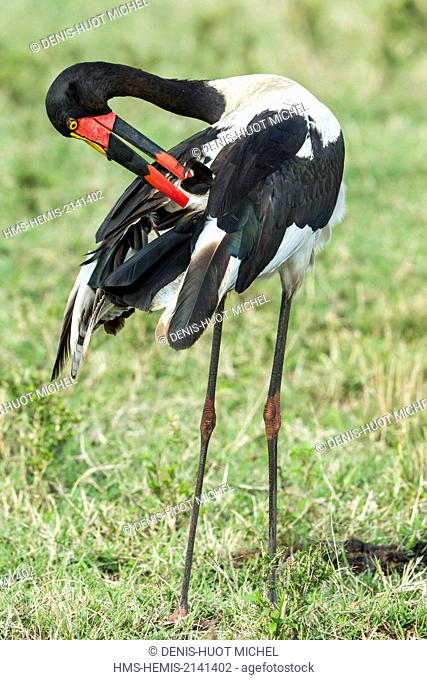 Kenya, Masai Mara game Reserve, Saddle billed stork (Ephippiorynchus senegalensis), female cleaning itself