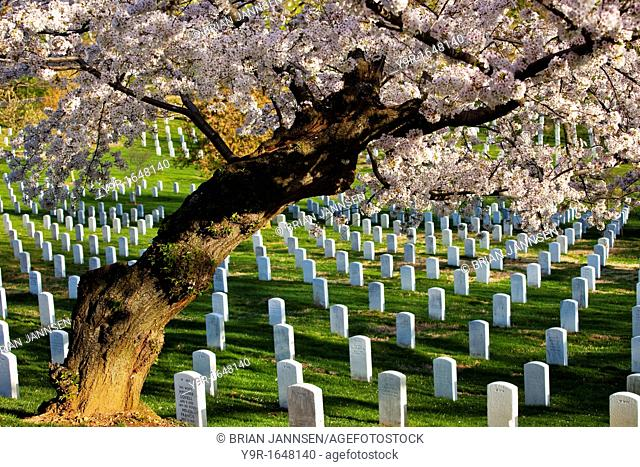 Blossoming cherry trees stand guard over the tombstones at Arlington National Cemetery near Washington DC USA