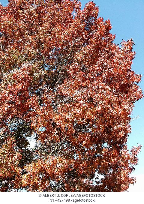 Fall colors, Oak tree
