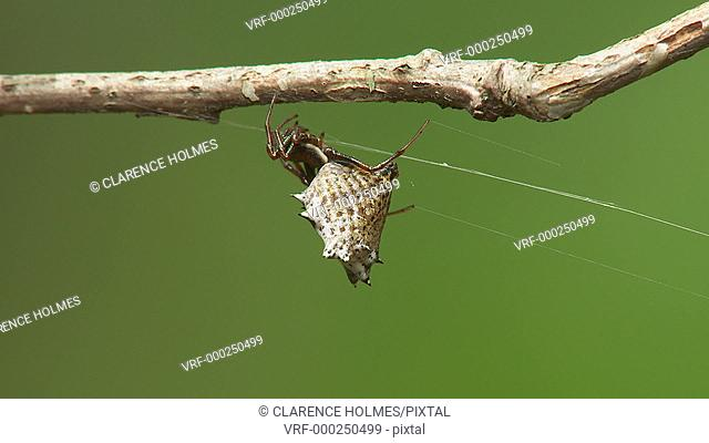 A female Spined Micrathena (Micrathena gracilis) spider hangs from a twig