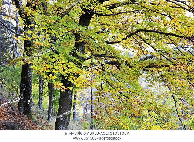 Beech trees in autumn time. Serra da Estrela Nature Park, Portugal