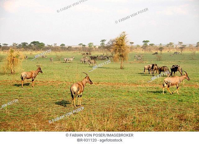 Common Tsessebe (Damaliscus lunatus), Serengeti National Park, Tanzania, Africa