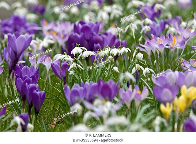 spring meadow with blooming double flower snowdrops and crocusses, Germany, North Rhine-Westphalia