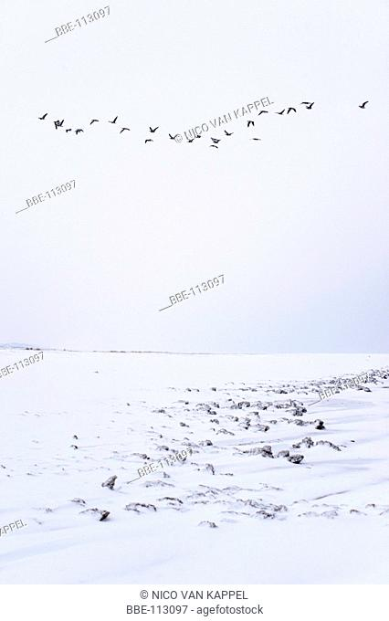 blocks of ice caused by snow coming in contact with salt water and tidal action in the Kwade Hoek nature reserve during winter with barnacle geese passing by