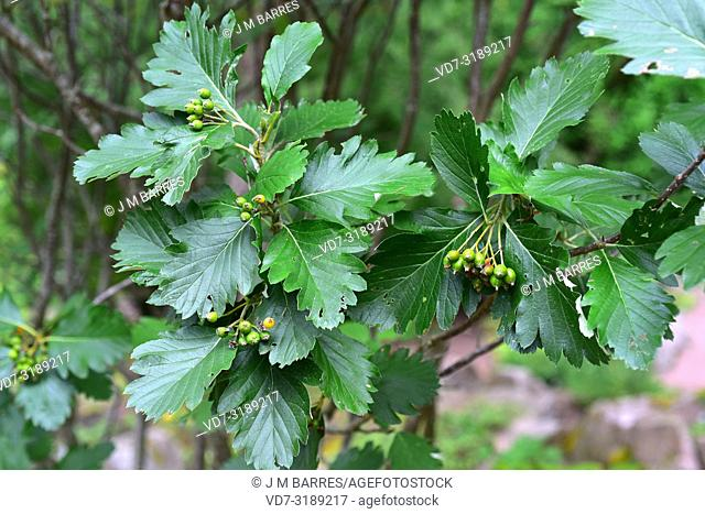 Checker tree (Sorbus torminalis) is a deciduous tree native to central Europe, south Europe mountains, north Africa and western Asia