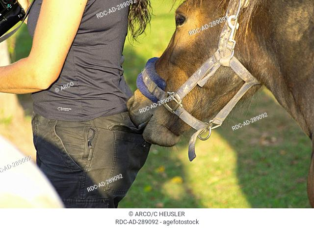 Icelandic Horse, 2 years, stealing from pocket / pickpocket